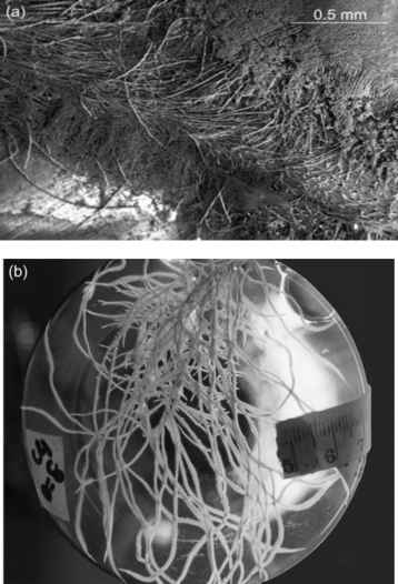 Hairy Root Culture Phytoremediation