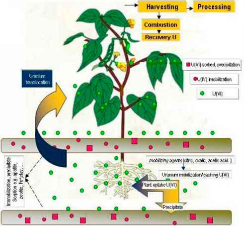 phytoremediation process Phytoremediation of metals: an overview - a free powerpoint ppt presentation (displayed as a flash slide show) on powershowcom - id: 63e19-ntlmm.